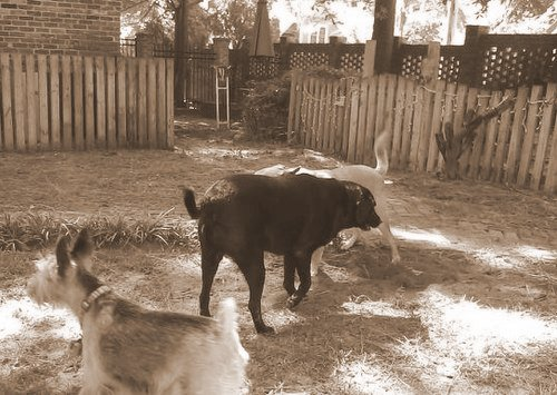 Chelsea and Spike at play-001