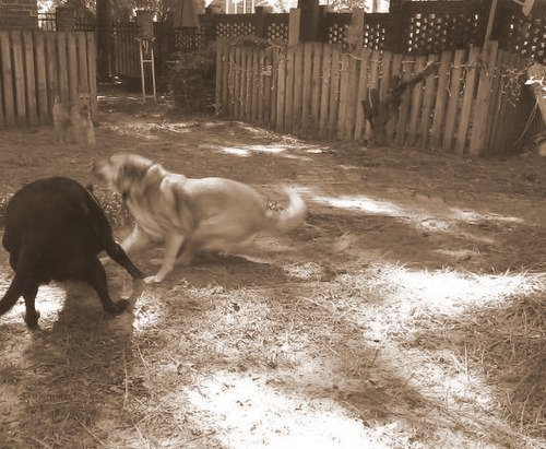Chelsea and Spike at play 2-001